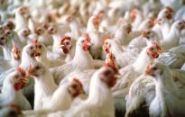 Csökken a baromfihús és a tojás áfája januártól