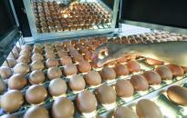 Biztonságos a hazai tojás