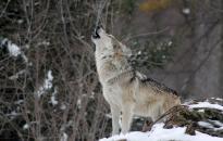 A farkas nem ordít be…