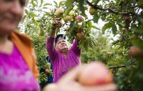 Gyenge lesz az idei almatermés