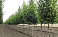 Vasmű úti fák: a Sisi ezüst hárs a befutó!