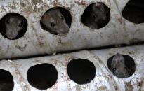 Patkányirtás Dunaújvárosban