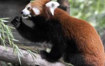 Vörös macskamedve érkezett a budapesti állatkertbe