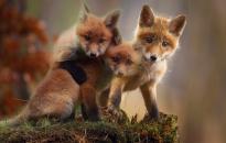 A rókák már több tízezer éve eszik az ember által otthagyott maradékot