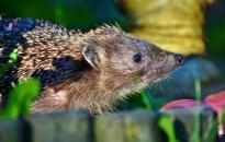 Az őshonos emlősök egynegyedét fenyegeti a kihalás veszélye Nagy-Britanniában