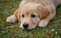 Az erőkifejtés vagy testmozgás miatt kapnak hőgutát a kutyák az esetek háromnegyedében