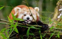 Közösségi finanszírozásból épülhet meg a vörös pandák kifutója a Pécsi Állatkertben