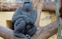 Tortával ünnepelték a negyvenéves gorillát