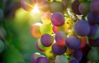 Jó minőségű szőlőre számítanak Szekszárdon