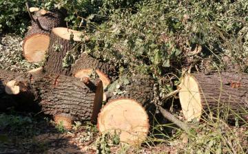 DSTV: 50-60 éves fákat vágtak ki illegálisan