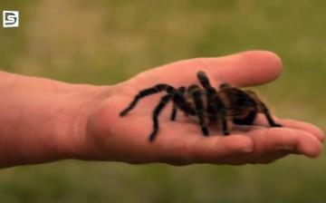 DSTV: karon ül a tarantula