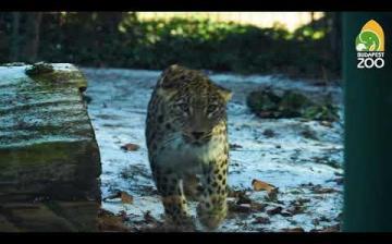 Embedded thumbnail for Kifutójával ismerkedik Banu, az új leopárdhölgy